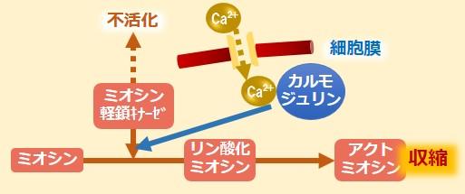 アクトミオシン血管収縮作用