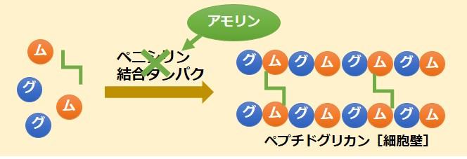アモリン、サワシリン、パセトシン作用機序