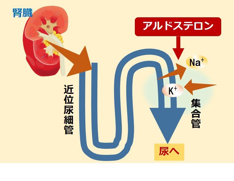 アルドステロン高カリウム血症