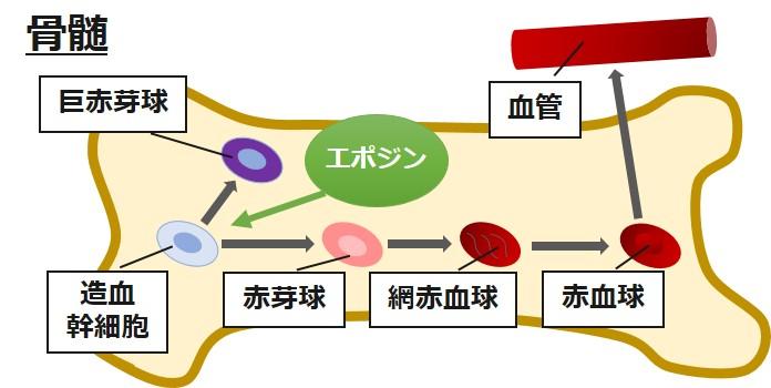 エポジン作用機序