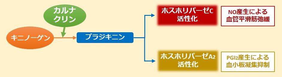 カルナクリン、カリクレイン作用機序