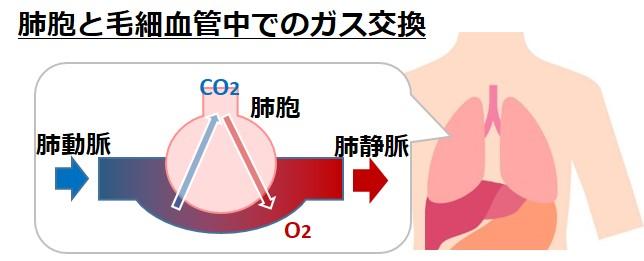 肺胞酸素二酸化炭素ガス交換呼吸