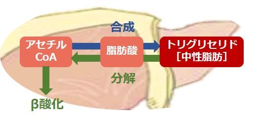 トリグリセリド合成分解