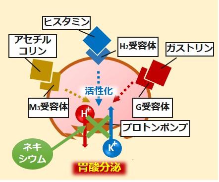 ネキシウム作用機序