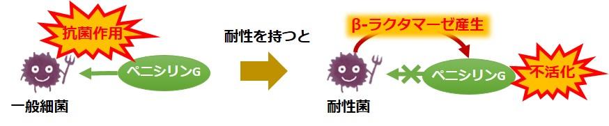 ペニシリン耐性菌