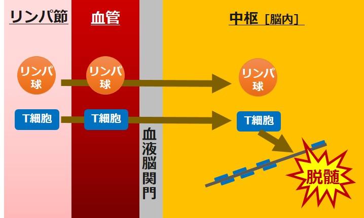 リンパ節T細胞移動