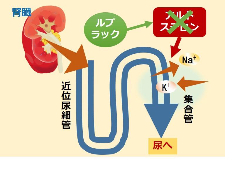 ルプラック抗アルドステロン作用