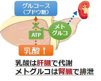 メトグルコ乳酸アシドーシス機序