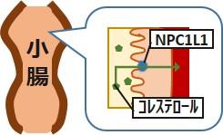 小腸コレステロール吸収