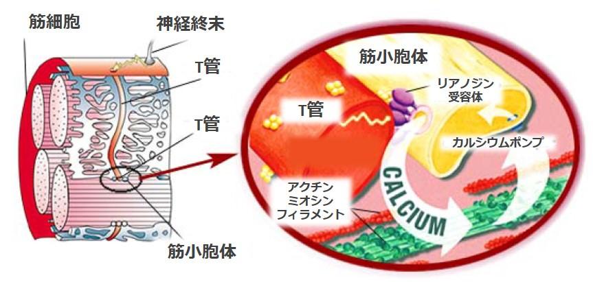 筋小胞体カルシウム遊離