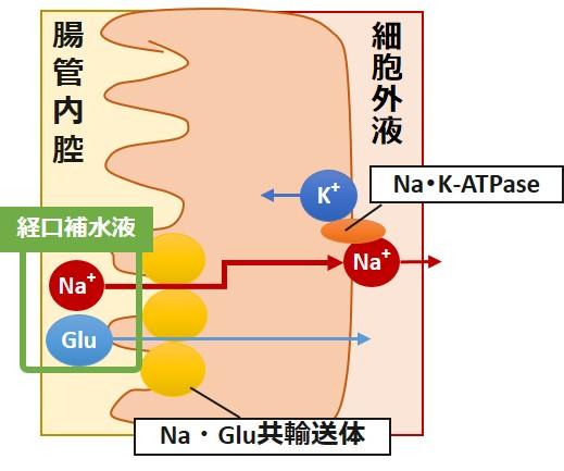 経口補水液作用機序
