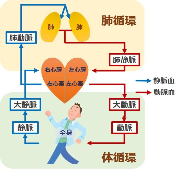 肺循環体循環