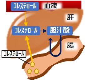 胆汁酸腸肝循環