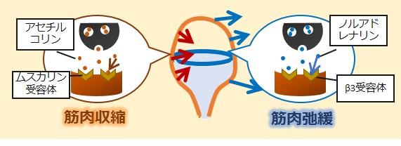 膀胱交感副交感神経