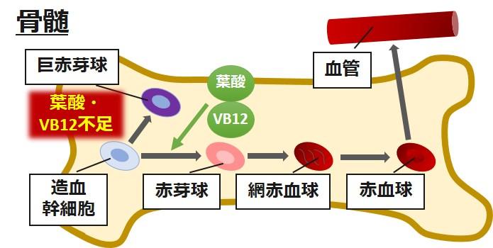 赤血球葉酸VB12