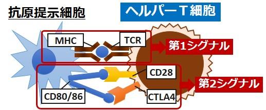 静止期T細胞活性化
