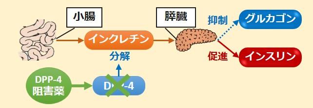 DPP-4阻害薬作用機序