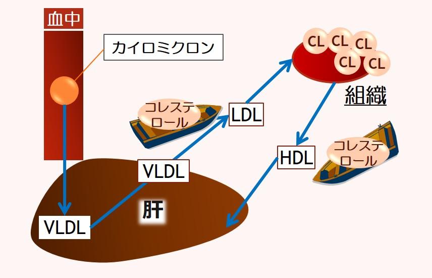 肝臓コレステロール循環