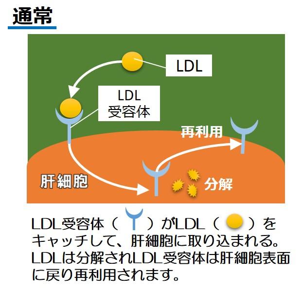 LDL受容体